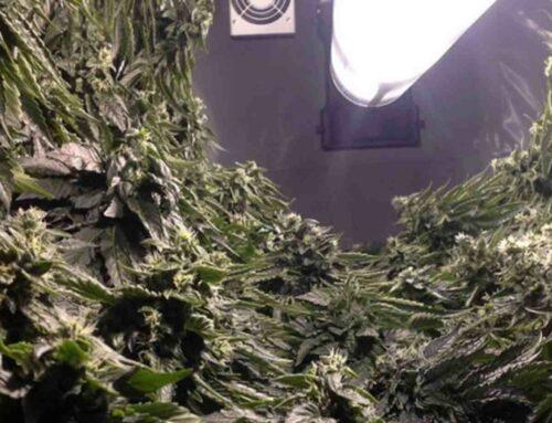 The future of automated cannabis farming
